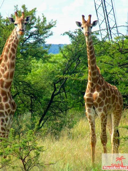 A visit to Pilanesberg National Park by @girlswanderlust #pilanesberg #southafrica #south #africa #girlswanderlust #safari #travel #travelblogger #nature #giraffes #giraffe.jpg