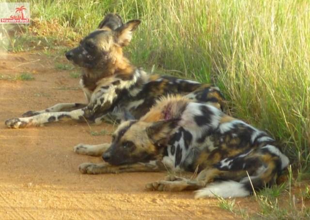 A visit to Pilanesberg National Park by @girlswanderlust #pilanesberg #southafrica #south #africa #girlswanderlust #safari #travel #travelblogger #nature #wilddog.jpg