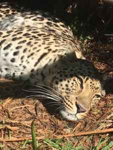 Girls Who Travel   A cheetah napping in the sun