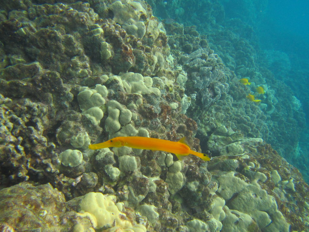 Snorkeling with Wild Dolphins in Hawaii, Trumpet Fish