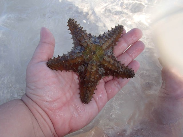 Sugar Adventure Company - Starfish