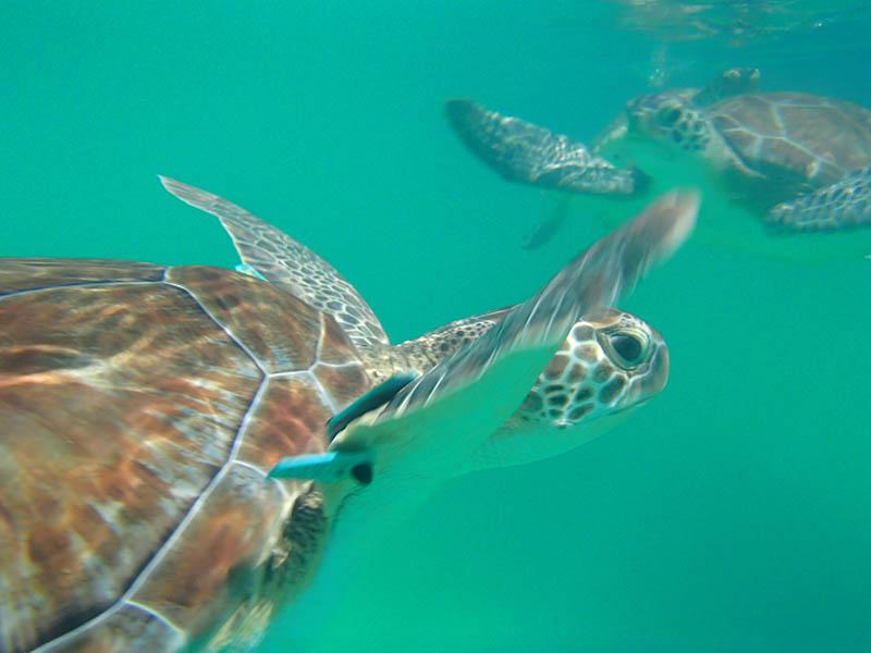 Swimming With Sea Turtles - Sea Turtles