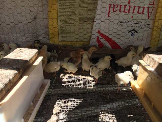 Down Too Earth Adventure Farm - Chicks