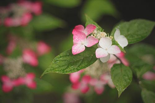 「しずく」「梅雨」「花」「雨」などがテーマのフリー写真画像