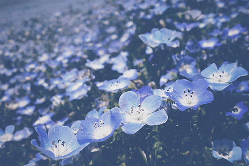 「ネモフィラ」「春」「花」などがテーマのフリー写真画像