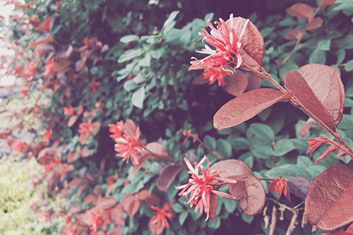 「トキワマンサク」「植物」「花」などがテーマのフリー写真画像