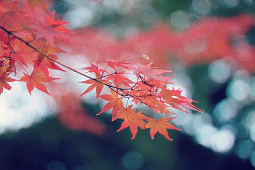 「モミジ」「植物」「秋」「紅葉」などがテーマのフリー写真画像