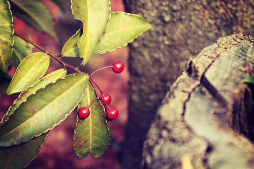 「冬」「植物」「赤い実」などがテーマのフリー写真画像