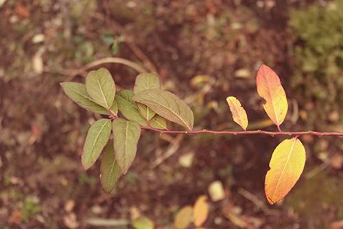 「モミジ」「冬」「植物」「秋」「紅葉」「落ち葉」などがテーマのフリー写真画像