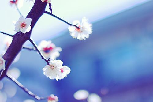 春みたいに暖かい日差しに揺れる白い梅の花