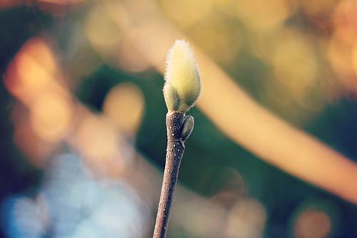 「アカシア」「春」「花」「花粉症」などがテーマのフリー写真画像