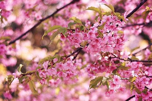 フリー写真素材:濃いピンクが可愛い葉桜