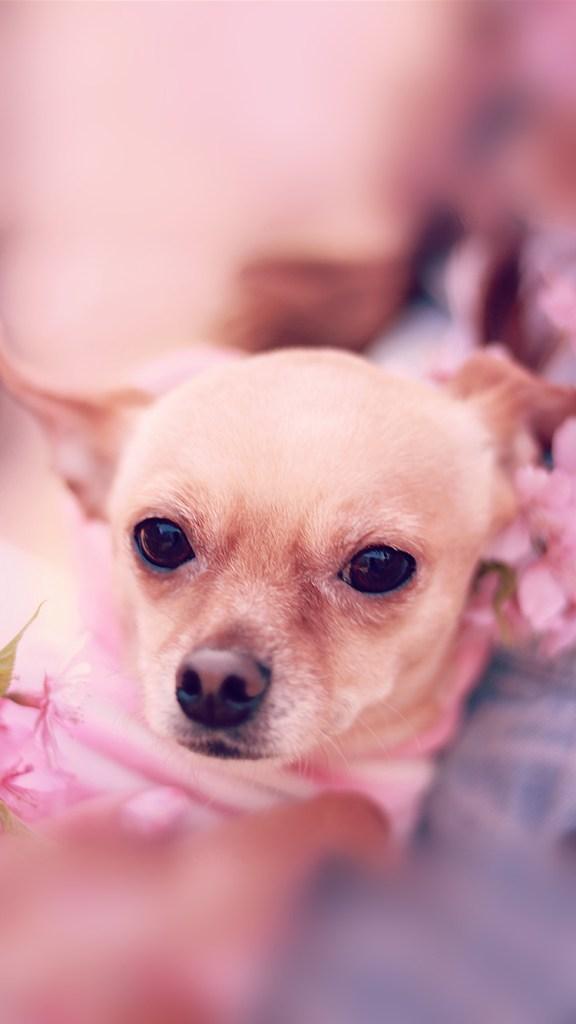 【おしゃれなiPhone壁紙】桜わんこ
