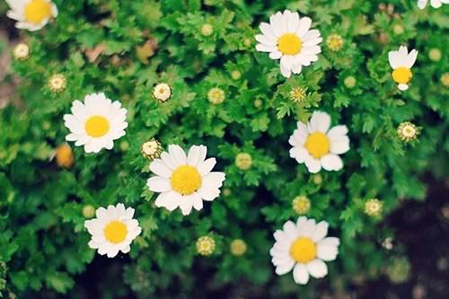 「ノースポール」「春」「花」「花畑」などがテーマのフリー写真画像