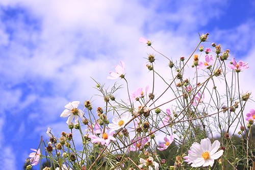 「ねこじゃらし」「植物」「秋」などがテーマのフリー写真画像