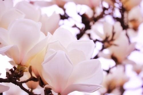 「ハクモクレン」「モクレン」「春」「植物」「花」などがテーマのフリー写真画像