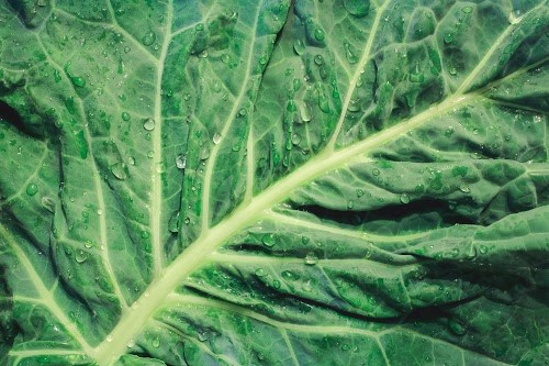 葉野菜界のスーパーフード!大きな葉っぱの「パワーケール」