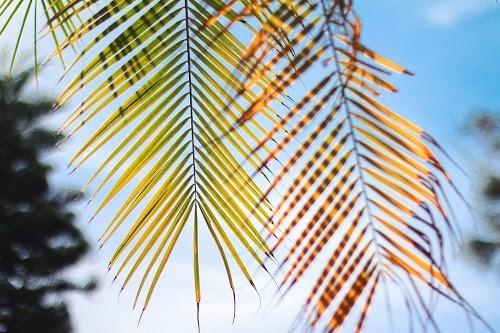 フリー写真素材:太陽に透けるヤシの木の葉っぱの裏側