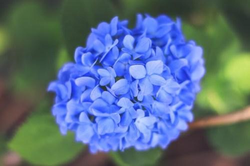 フリー写真素材:日の丸構図がピッタリの大きく立派な青い紫陽花(あじさい)
