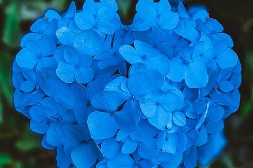 フリー写真素材:ハート型の紫陽花
