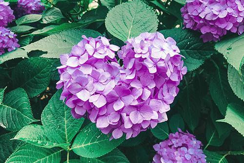 フリー写真素材:梅雨を明るくするハート型の紫陽花(紫)