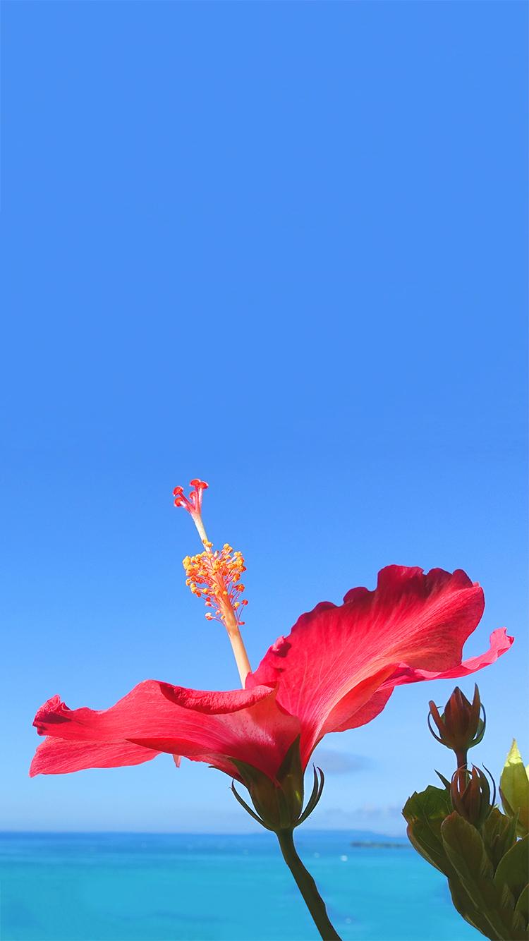 オシャレなiphone壁紙 空に向かって元気に咲き誇る沖縄の赤い