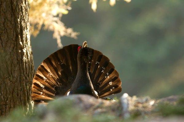 Gallo cedrone © foto di Graziano March