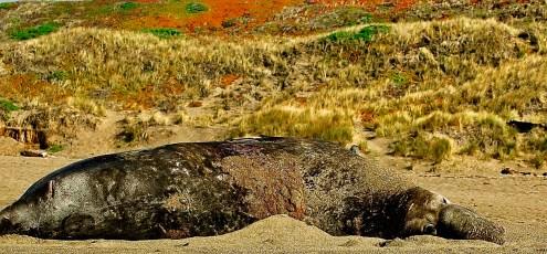 Elephant Seal, Pt. Reyes, CA