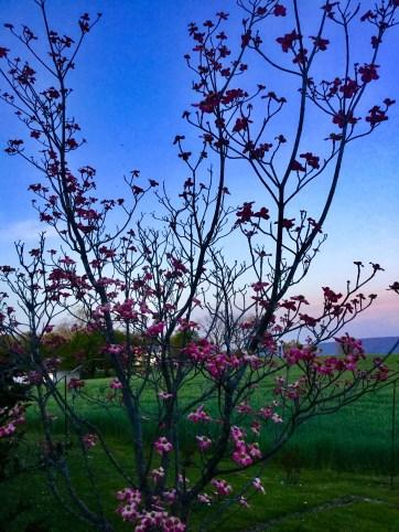 Dogwood at Sunset