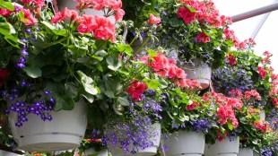 tanaman hias gantung daun, petunia