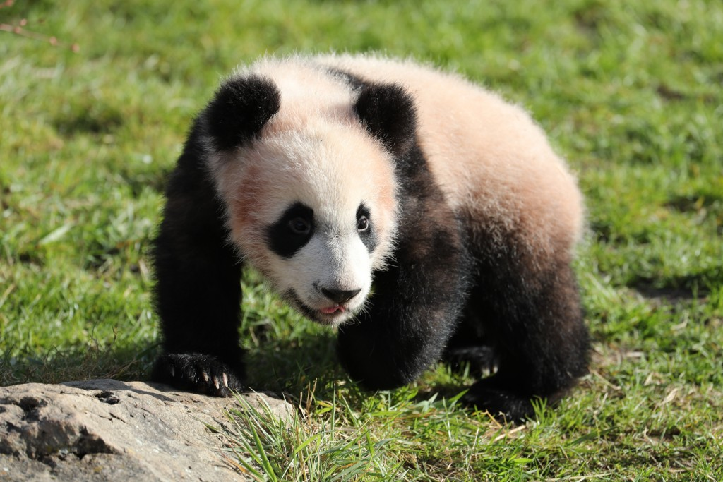 cfd7cd-bebe-panda-ap9i6750