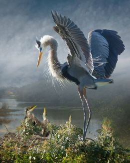 Great Blue Heron With Chicks Revisited