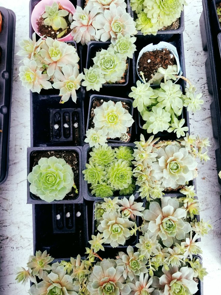 Gorgeous little succulents at Eastern Market in Detroit