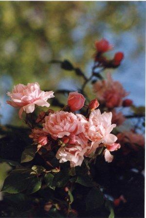 Roses dans le jardin de Monet à Giverny, photo Anne Chrysotème