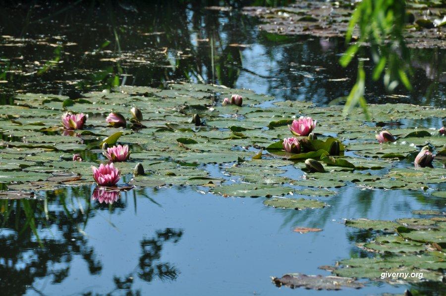 Water Garden Lilies