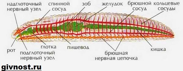 покровы тела дождевого червя характеристика