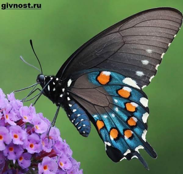 Махаон бабочка насекомое Образ жизни и среда обитания