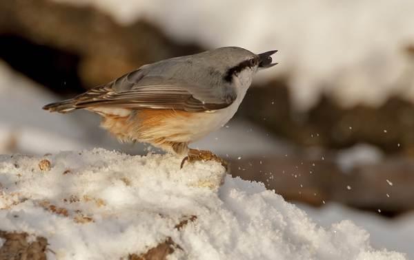 Зимующие-птицы-Названия-описания-и-особенности-зимующих-птиц-10