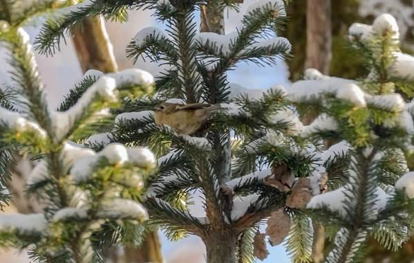 Зимующие-птицы-Названия-описания-и-особенности-зимующих-птиц-13