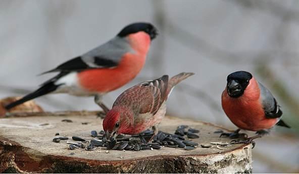 Зимующие-птицы-Названия-описания-и-особенности-зимующих-птиц-2