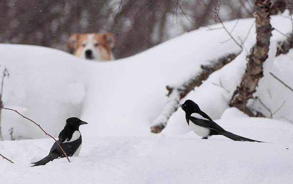 Зимующие-птицы-Названия-описания-и-особенности-зимующих-птиц-32