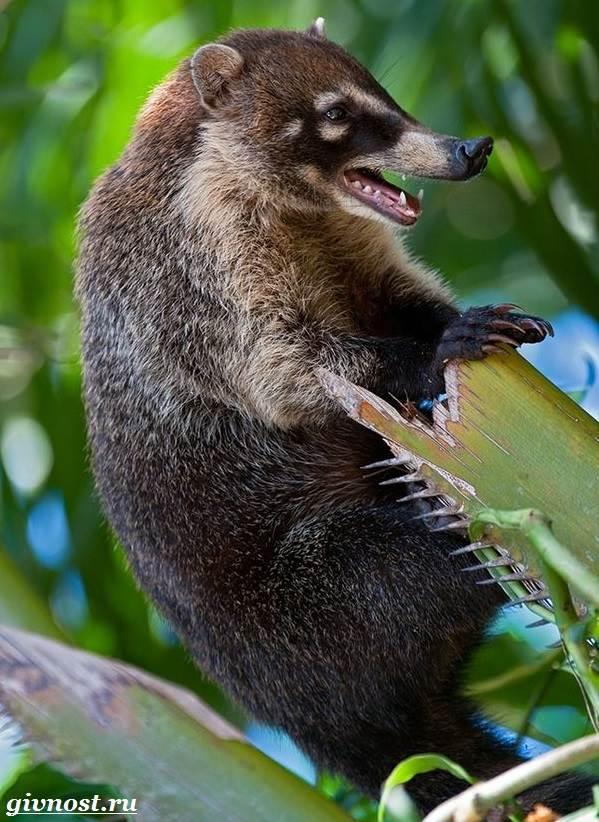 Носуха животное. Образ жизни и среда обитания носухи ...