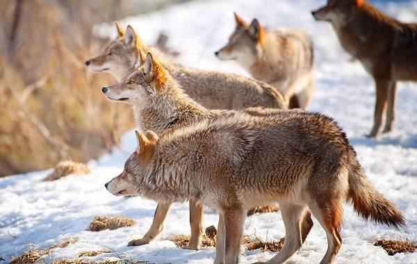 The wolf and its habitat  Wolves: types of wolves