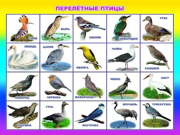 Перелётные птицы. Описания, виды, и названия перелётных ...