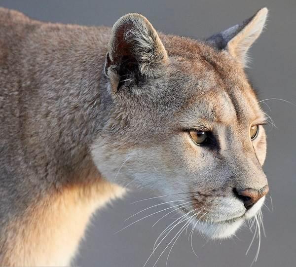Cougar životna stranica za upoznavanje