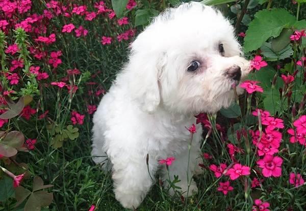 Бишон-фризе-собака-Описание-особенности-уход-и-цена-породы-бишон-фризе-10