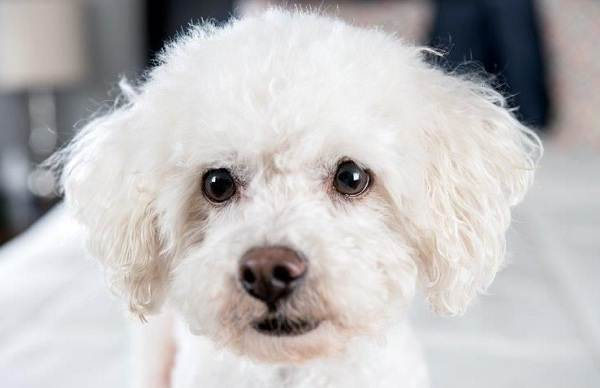 Бишон-фризе-собака-Описание-особенности-уход-и-цена-породы-бишон-фризе-13