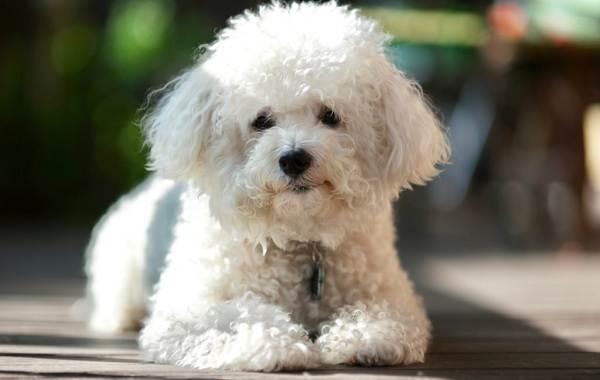 Бишон-фризе-собака-Описание-особенности-уход-и-цена-породы-бишон-фризе-2