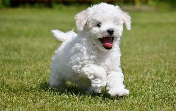 Бишон-фризе-собака-Описание-особенности-уход-и-цена-породы-бишон-фризе-4