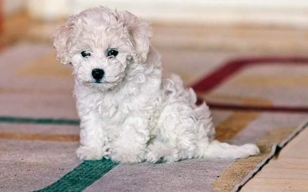 Бишон-фризе-собака-Описание-особенности-уход-и-цена-породы-бишон-фризе-5